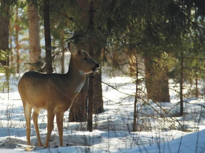 Сезон охоты на косулю в Нижегородской области продлен до 10 января